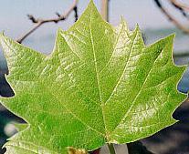 Çınar-ağacı-yaprağı-yararları-ve-kullanımı