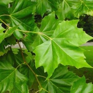 Çınar yaprağının yan etkileri