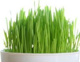 Buğday Çiminin yararları