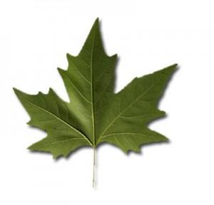 Çınar Ağacı Yaprağının Faydaları ve Yan Etkileri