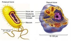 Hayvansal Hücre Çeşitleri Nelerdir
