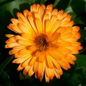 Portakal Nergisi ve Ayak Mantarı