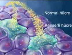 Kontrollü hücre bölünmesi ve kontrolsüz hücre bölünmesi