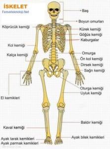 iskelet-sistemi
