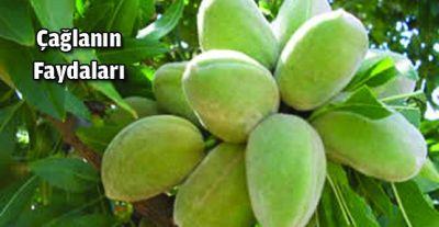 Çağla Meyvesi