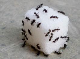 Evdeki Karıncalar Nasıl Yok Edilir?