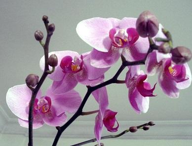 Orkide nasıl çiçek açtırılır?
