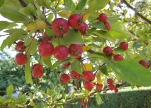 Japon elmasının yararları