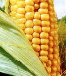Haşlanmış mısır suyunun faydaları