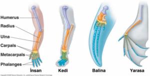 Yarasaların Özellikleri, Yarasaların kemikleri ne işe yarar, Yarasa Kemikleri ne için kullanılır, Yarasaların Kemikleri